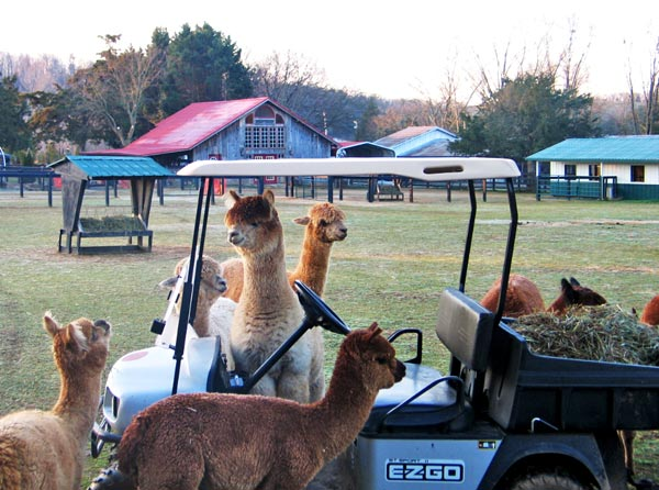 Alpaca with Golf Cart